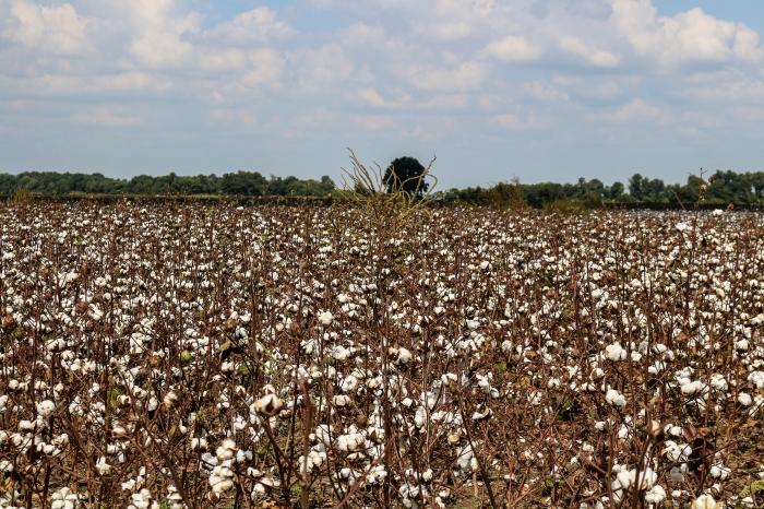 Cottonfields -Maude Schuyler Clay
