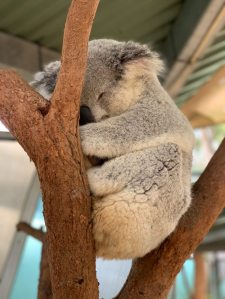 sleeping-koala-bear-on-tree-1770706